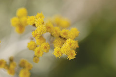 Helichrysum Buds for Making Essential Oil